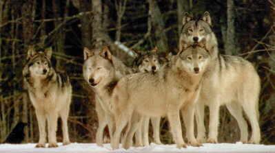 wolf greift mensch an