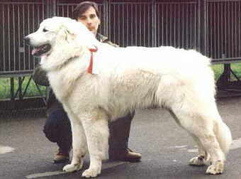 Weißer Großer Hund